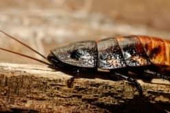 Как бороться с черными тараканами до полного уничтожения