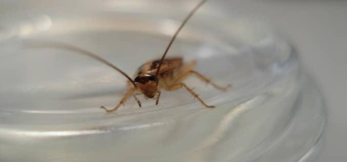 Дезинфекция тараканов — делать самому или вызвать сэс