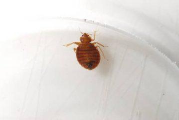 что за насекомые эти домашние клопы