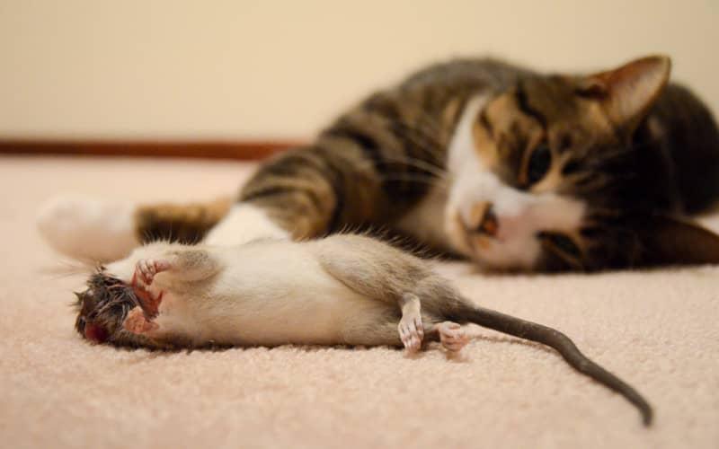 Выбор способа борьбы с крысами