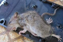 Как избавиться от крыс дома — консультация специалииста