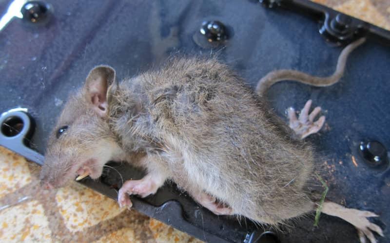 Народные способы и методы травить крыс