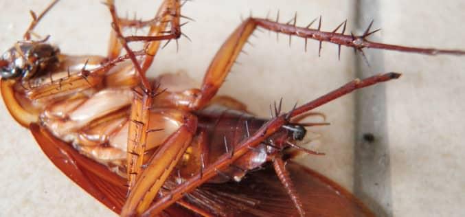Как быстро травить тараканов самостоятельно