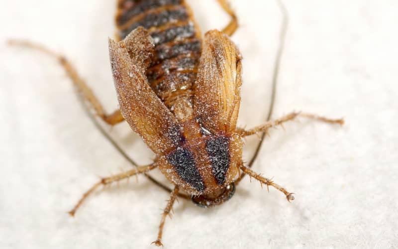 Как морить тараканов борной кислотой — обработка квартиры