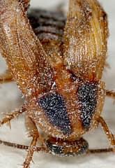 как морить тараканов борной кислотой
