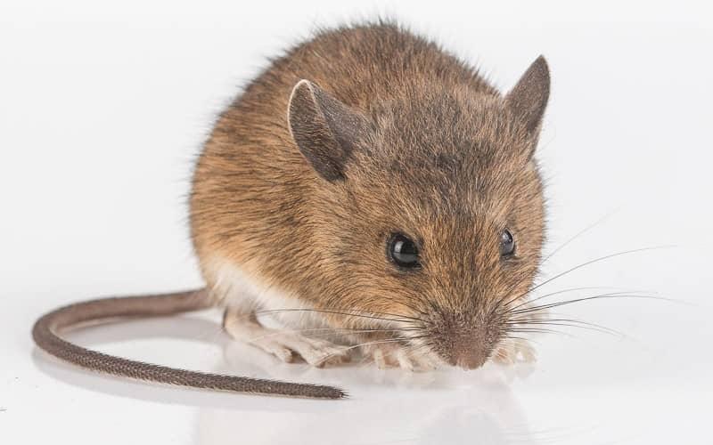 Традиционные методы борьбы с мышами в доме, на даче