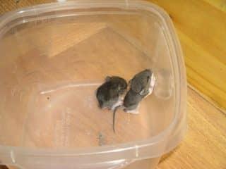 уничтожение мышей в доме