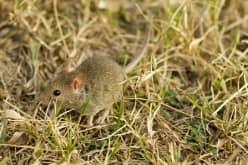 Использование мяты, чтобы избавиться от мышей в квартире