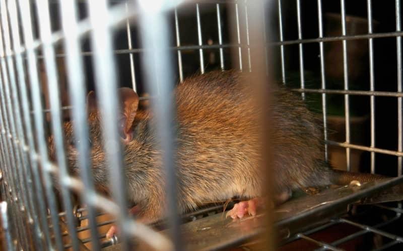 Крысиный яд, крысоловки, санитария — все для уничтожения крыс