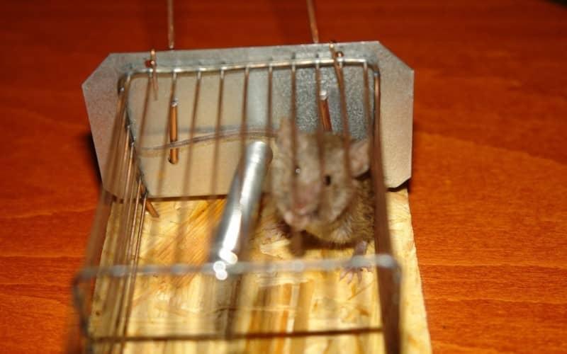 Быстрые способы избавления от мышей в доме