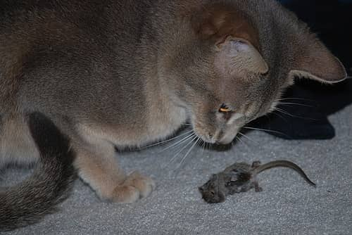 кошки уничтожают мышей