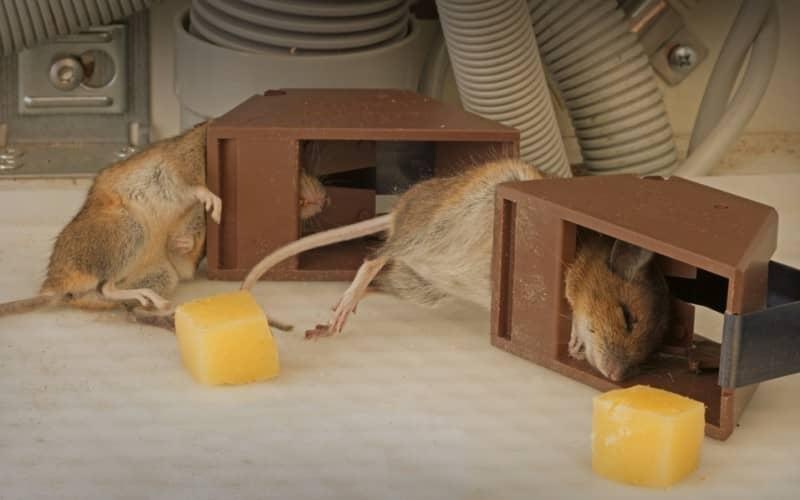 Покажем как избавиться от мышей и крыс надежными способами