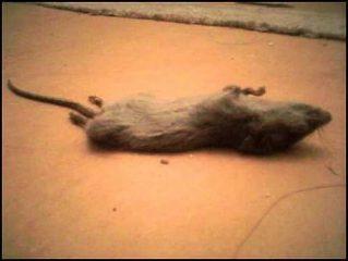 как травить крыс