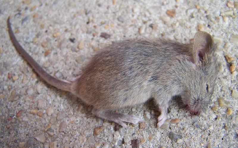 Какие существуют способы травить мышей, плюсы и минусы