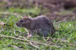 Ультразвуковые отпугиватели как способ борьбы с крысами, мышами