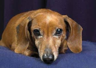 ушные клещи у собак