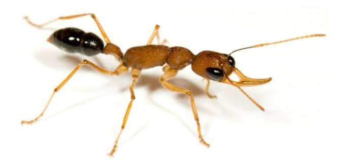 Эффективное средство от домашних муравьев