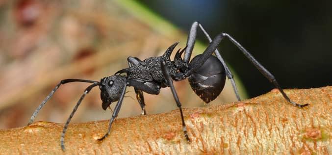Как бороться с черными муравьями в доме