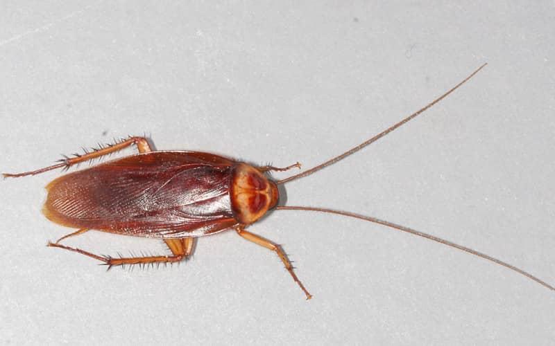Как влияет среда обитания на то что едят тараканы