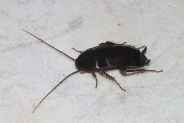 Средство от черных тараканов