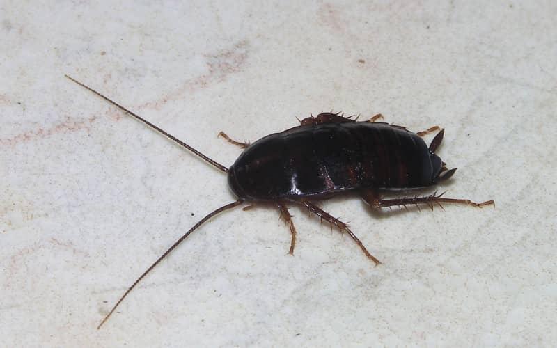 Средства для уничтожения черных тараканов
