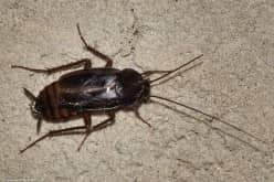Черные тараканы очень тяжело подвергаются уничтожению