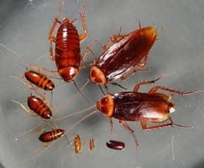 Борная кислота порошок от тараканов