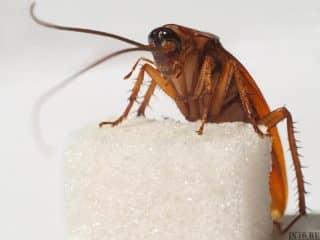 что едят тараканы Избавляемся от тараканов
