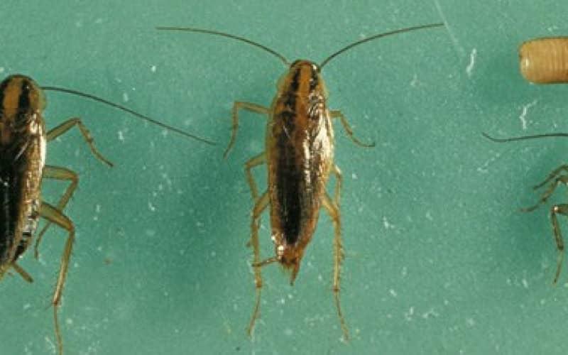 Если черные тараканы попали в квартиру — способы уничтожения