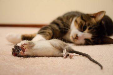Как избавиться от крыс