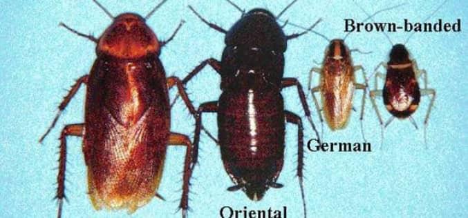 Домашние средства уничтожения тараканов