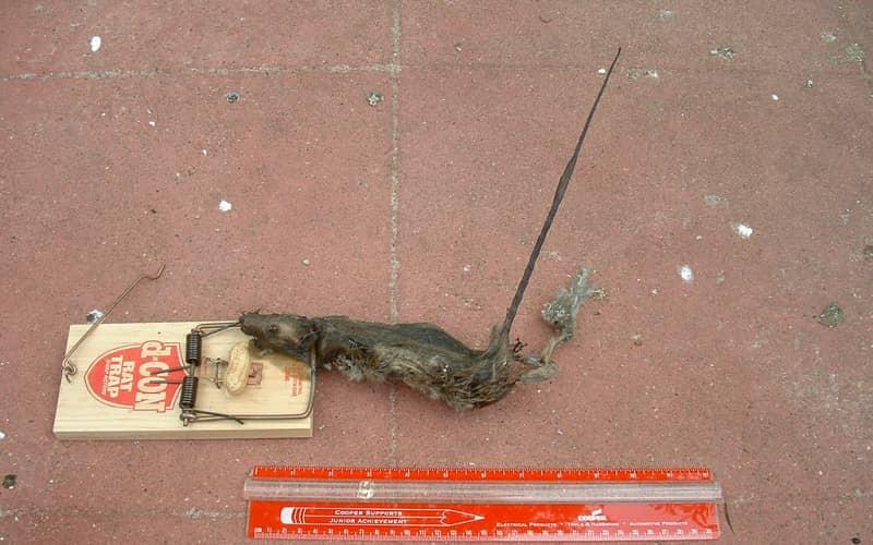 Санитария — главный способ как избавиться от крысы в доме