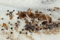 Клопы и блохи, в чем различие насекомых — строение, развитие, укусы
