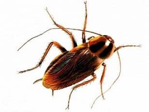 как вывести домашних тараканов