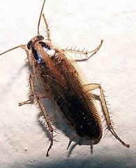 Как уничтожить тараканов