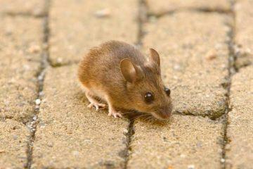 Центр дератизации уничтожит крыс