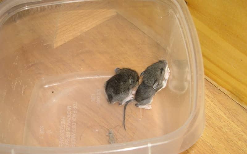 Рекомендации как провести уничтожение мышей в доме