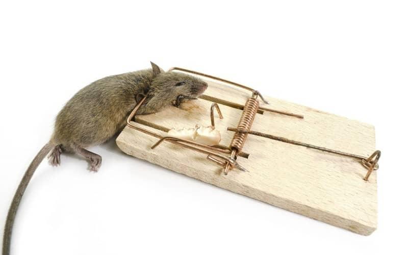 Методы истребления мышей с результатами в кратчайшие сроки