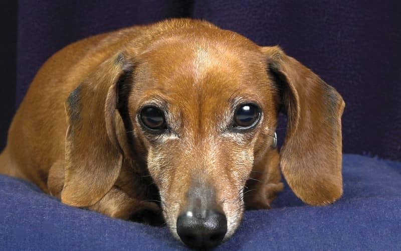 Как появляются ушные клещи у собак. Как вылечить и избегать укусов клещей